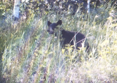 Bear by the road.